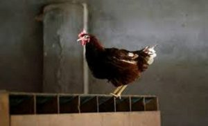 Teen arrested for raping chicken to death